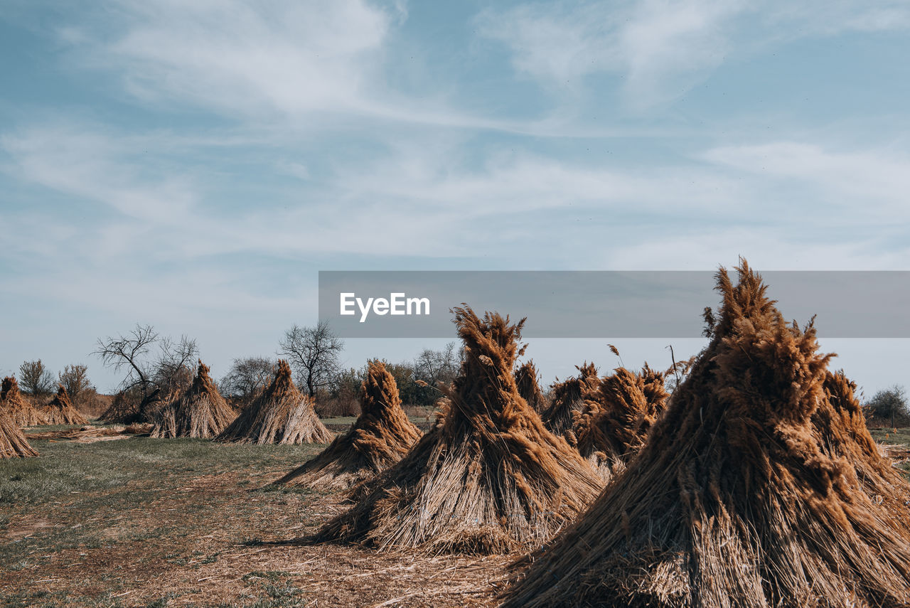 Low angle view of piles of reed on field against sky