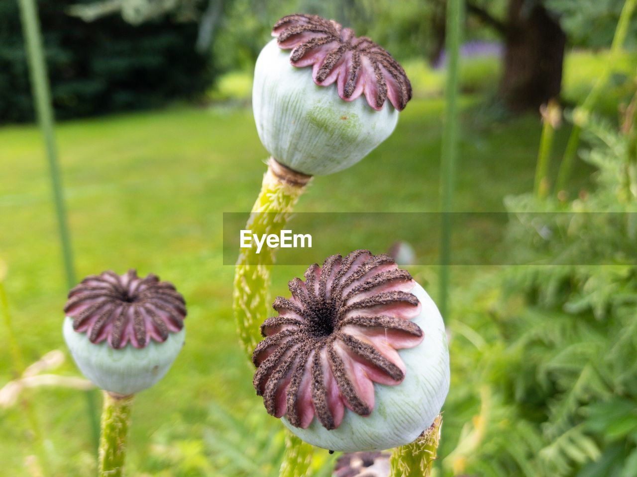plant, growth, flower, flowering plant, freshness, vulnerability, fragility, beauty in nature, close-up, focus on foreground, nature, no people, day, flower head, inflorescence, field, poppy, green color, plant stem, land, outdoors, purple