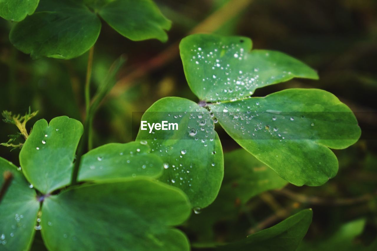 growth, water, drop, leaf, plant part, plant, wet, green color, beauty in nature, close-up, freshness, nature, no people, day, vulnerability, focus on foreground, selective focus, fragility, outdoors, rain, dew, clover, leaves, raindrop, purity