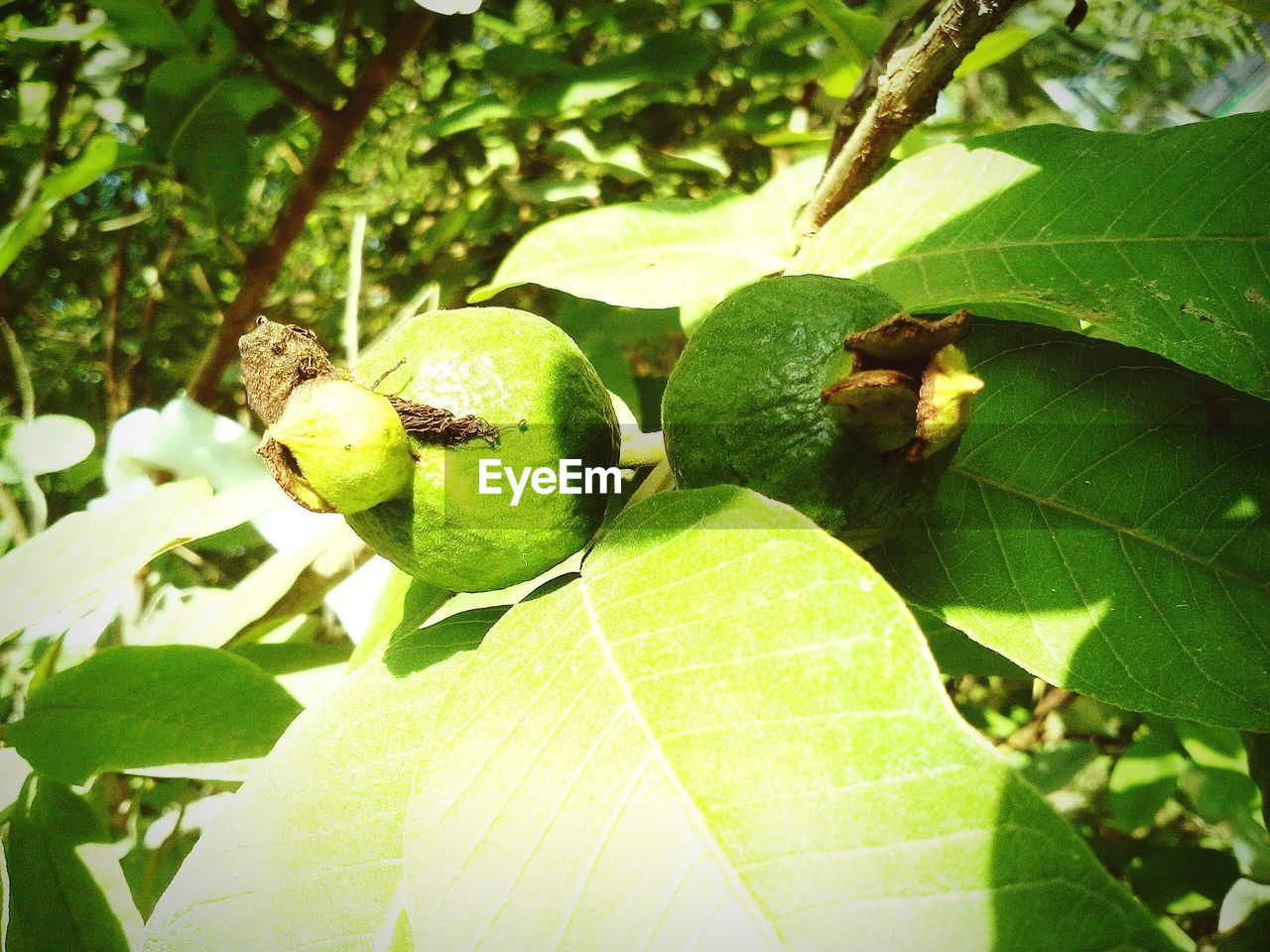 leaf, green color, growth, nature, day, food and drink, outdoors, no people, plant, close-up, fruit, freshness, beauty in nature, food