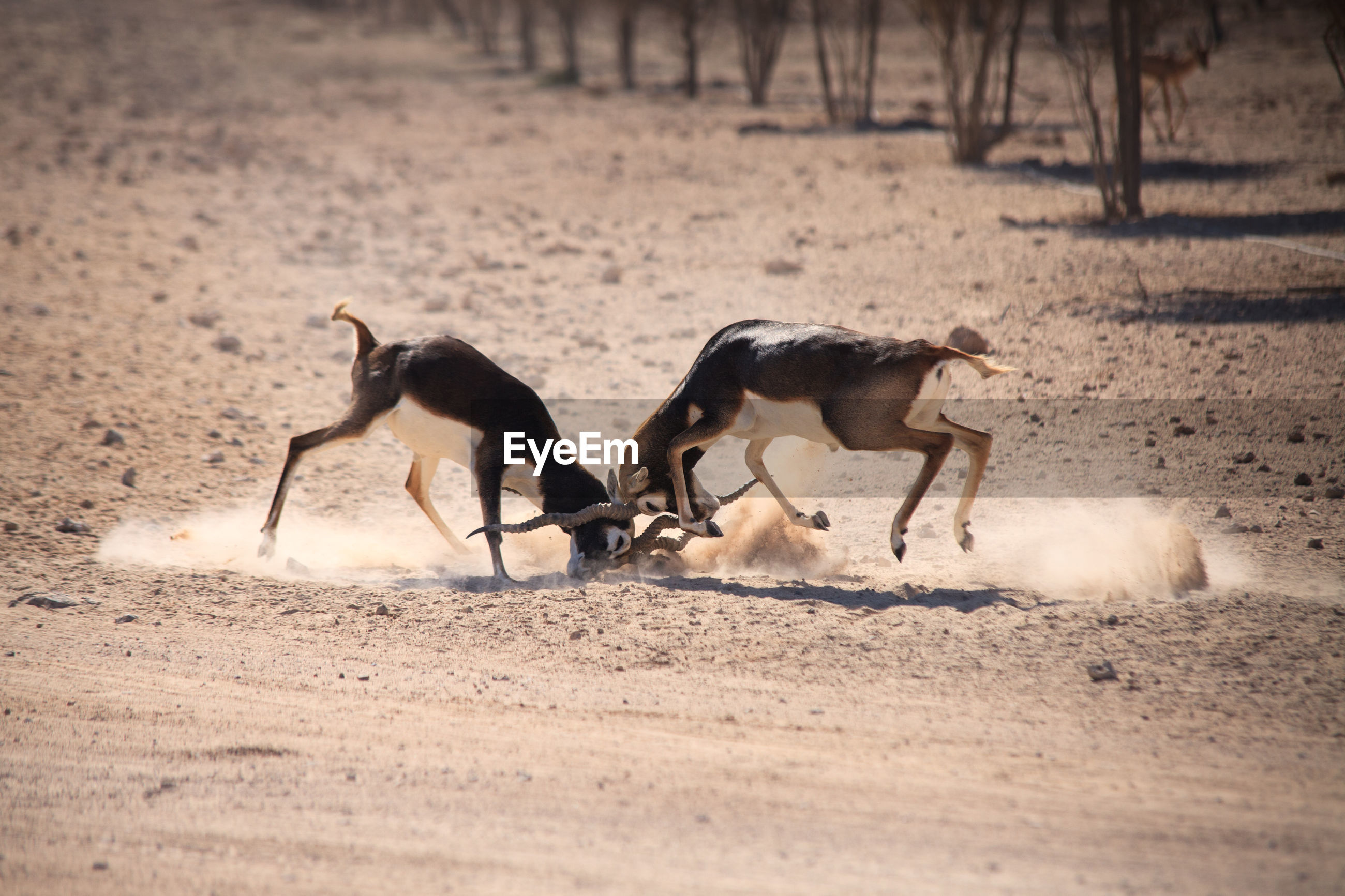 Side view of two antelopes in confrontation