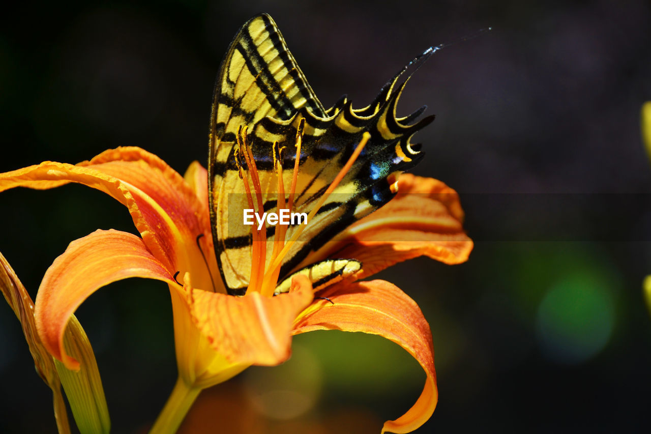 flower, insect, invertebrate, beauty in nature, one animal, flowering plant, animals in the wild, plant, fragility, vulnerability, animal wildlife, animal themes, petal, close-up, animal, flower head, growth, focus on foreground, inflorescence, animal wing, no people, butterfly - insect, pollen, pollination, outdoors, butterfly