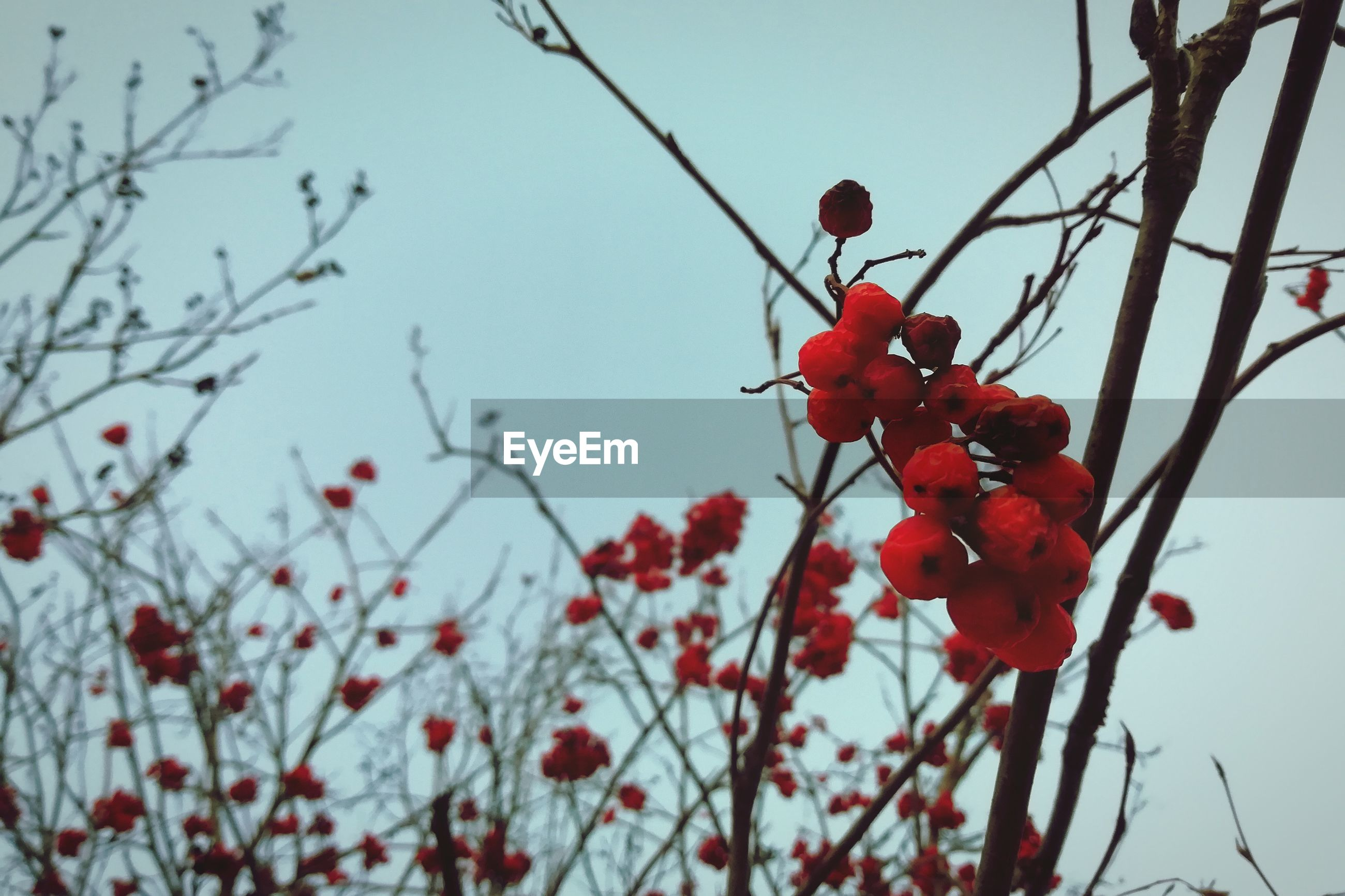 red, berry fruit, fruit, tree, healthy eating, plant, growth, food, focus on foreground, branch, food and drink, nature, close-up, day, freshness, low angle view, no people, twig, beauty in nature, wellbeing, outdoors, rowanberry, red currant
