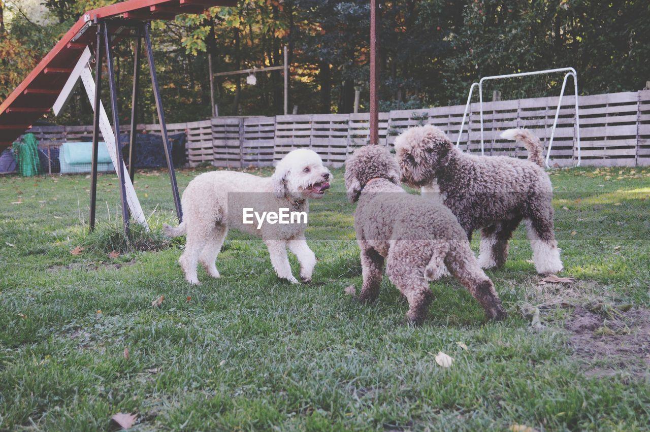 mammal, animal themes, animal, domestic, pets, domestic animals, group of animals, grass, vertebrate, plant, dog, canine, land, day, no people, nature, field, poodle, sheep