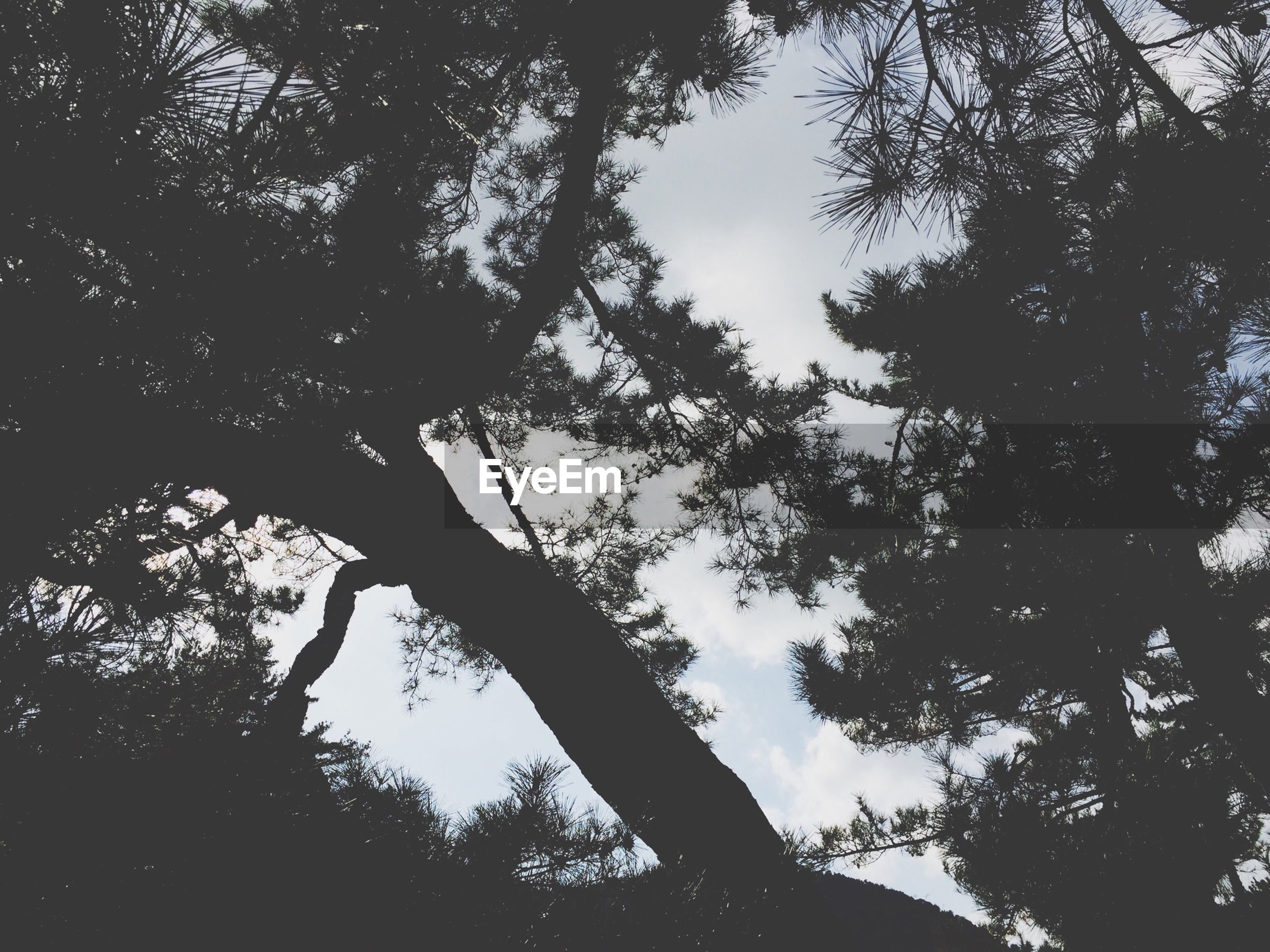tree, low angle view, branch, tree trunk, silhouette, sky, growth, tranquility, nature, beauty in nature, bare tree, outdoors, no people, forest, day, scenics, tranquil scene, sunlight, tall - high, woodland