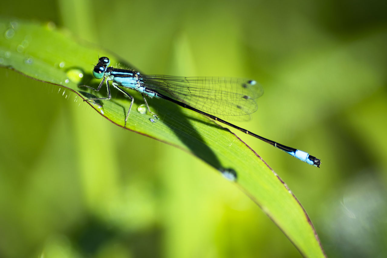 animals in the wild, green color, animal themes, insect, plant part, leaf, animal wildlife, one animal, invertebrate, animal, close-up, plant, damselfly, nature, focus on foreground, day, animal wing, no people, growth, selective focus, outdoors, dew, blade of grass, raindrop