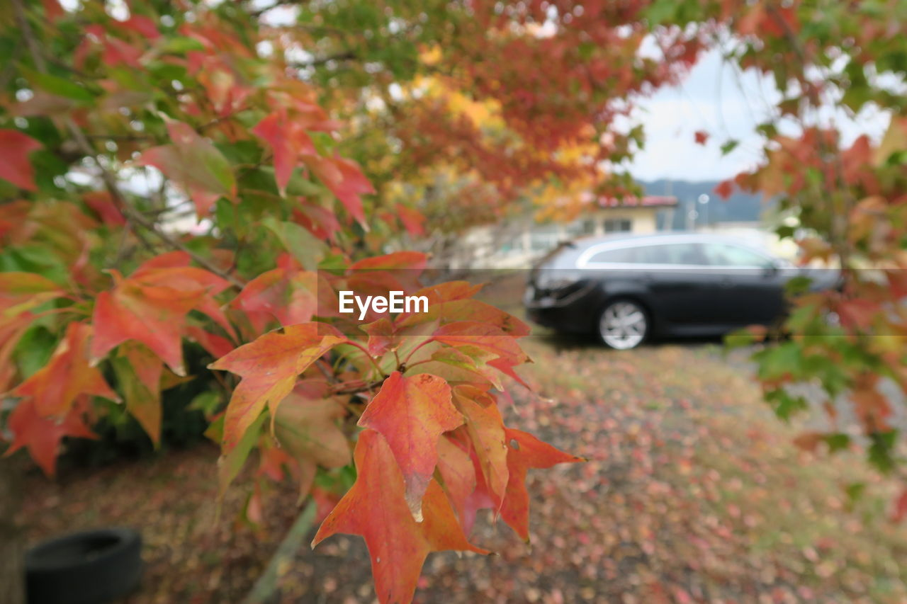 autumn, leaf, change, car, orange color, day, tree, transportation, red, outdoors, land vehicle, nature, growth, focus on foreground, maple leaf, no people, fragility, close-up, beauty in nature, maple