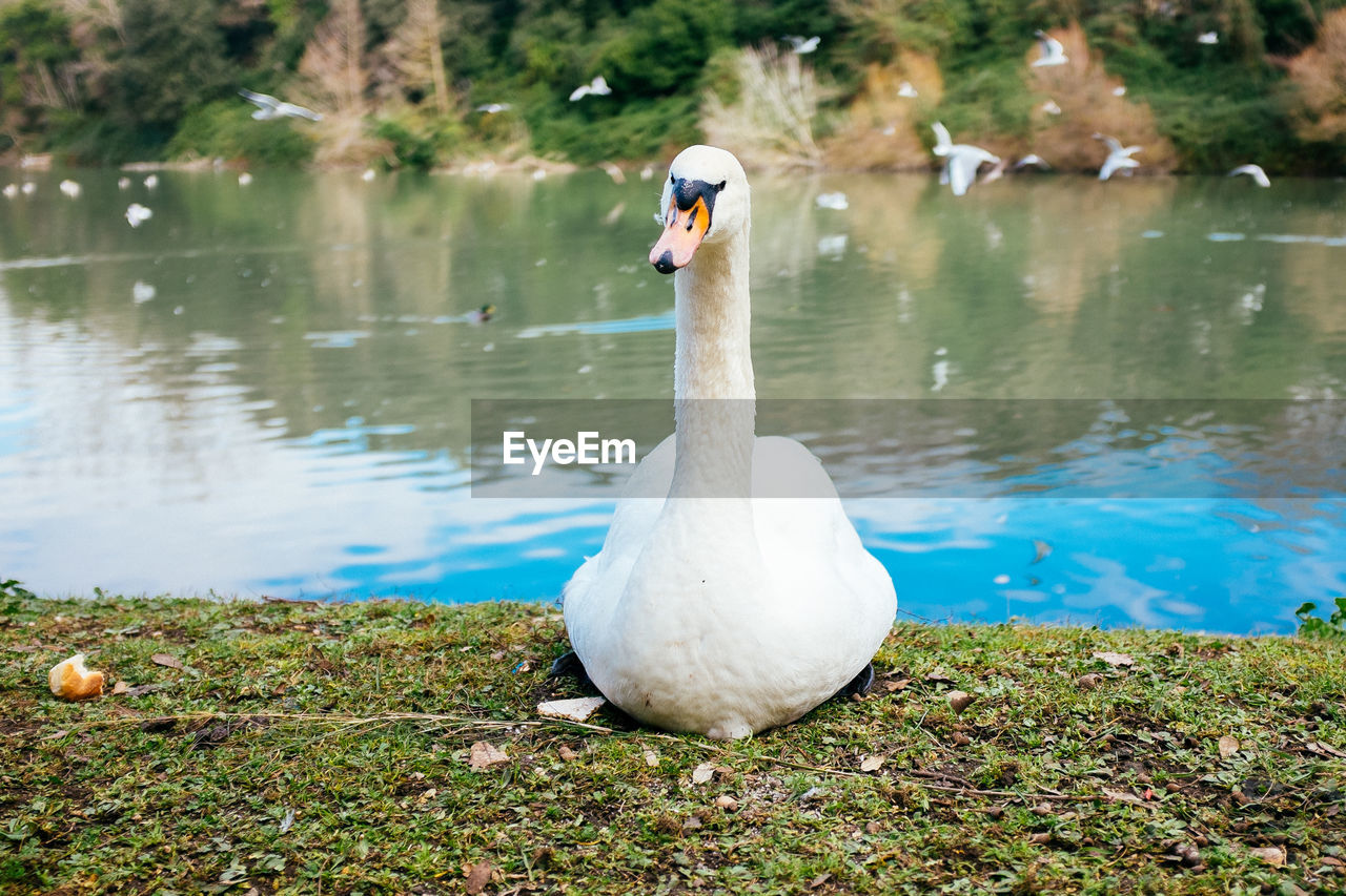 Close-Up Of Swan Sitting On Field Against Lake