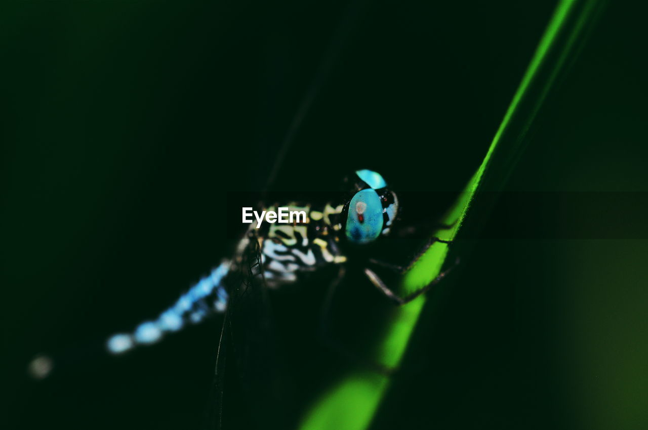 animal themes, animal, insect, invertebrate, animal wildlife, animals in the wild, one animal, close-up, green color, selective focus, nature, no people, zoology, day, plant part, leaf, plant, animal body part, arthropod, animal wing, black background, blade of grass, animal eye