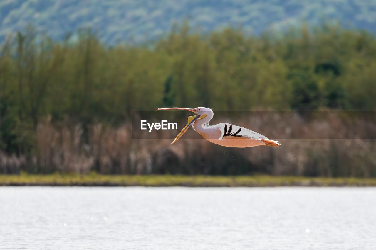 BIRD FLYING ABOVE LAKE