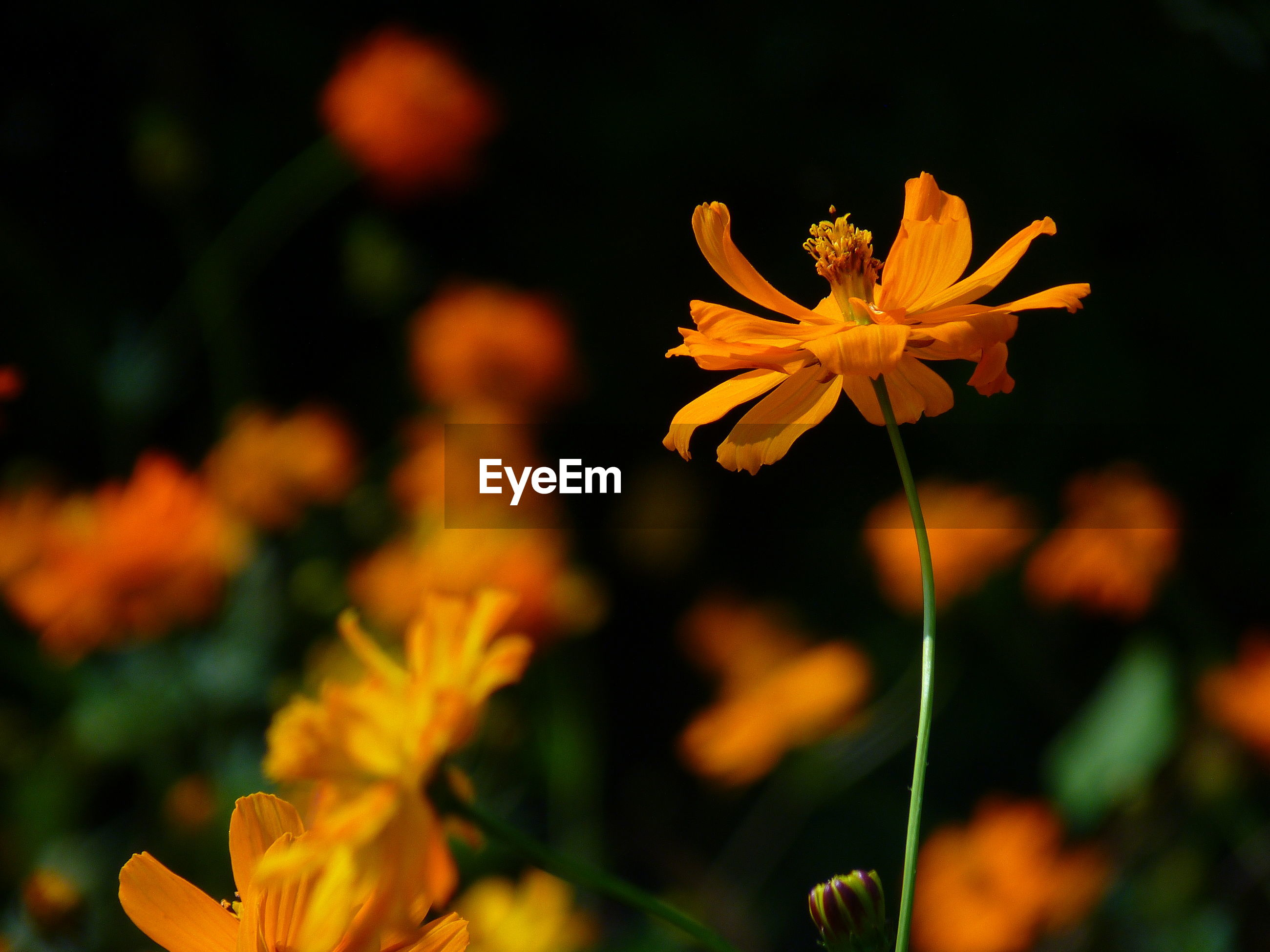 CLOSE-UP OF YELLOW COSMOS BLOOMING OUTDOORS