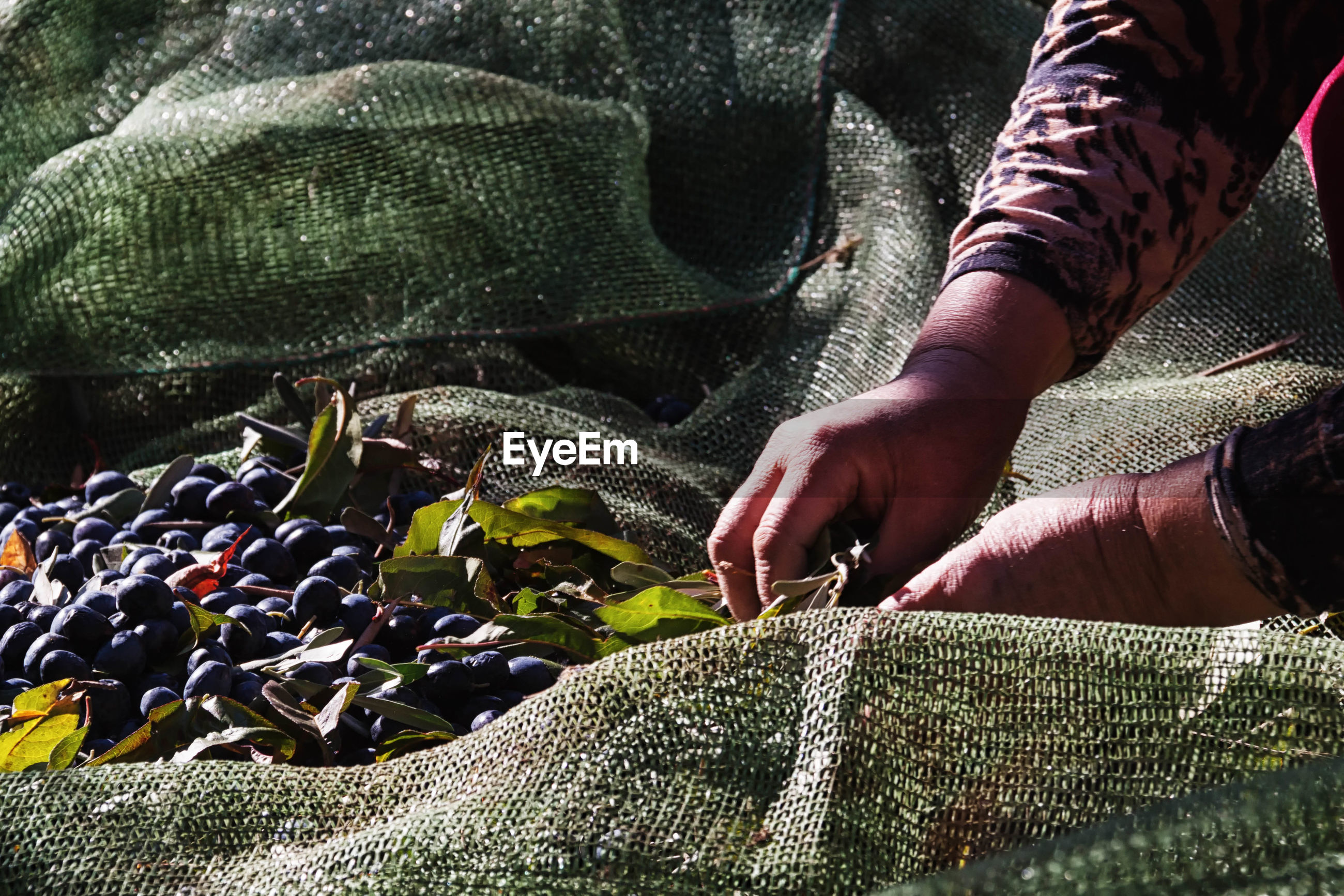 Cropped image of woman picking fresh blueberries from jute sack