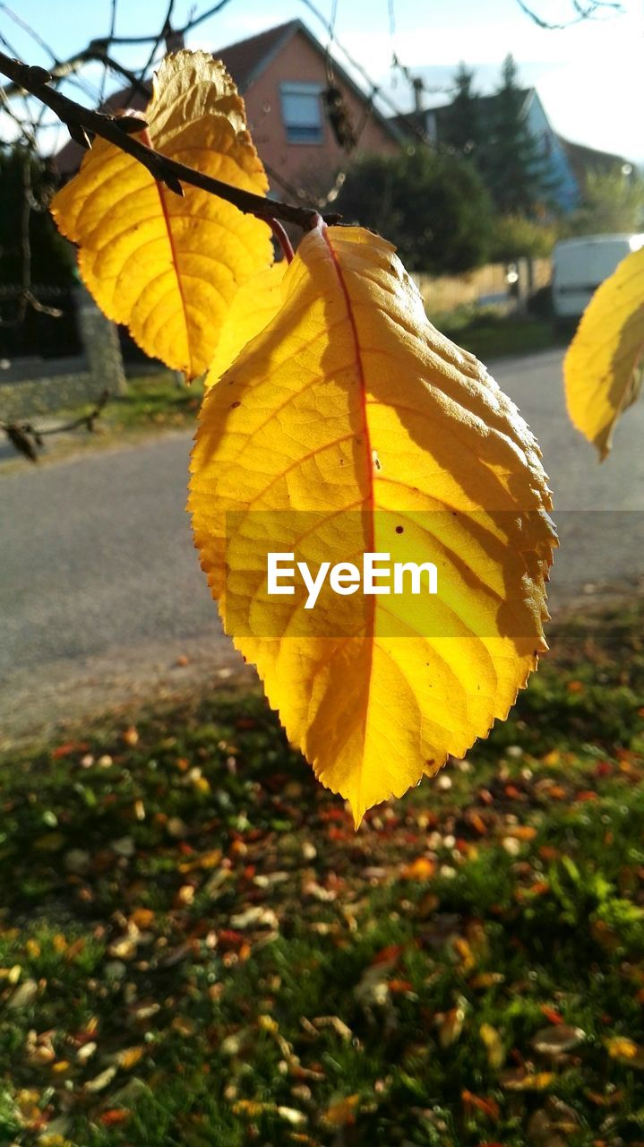 yellow, leaf, change, nature, day, outdoors, autumn, close-up, growth, beauty in nature, focus on foreground, no people, fragility, flower, freshness, tree, flower head