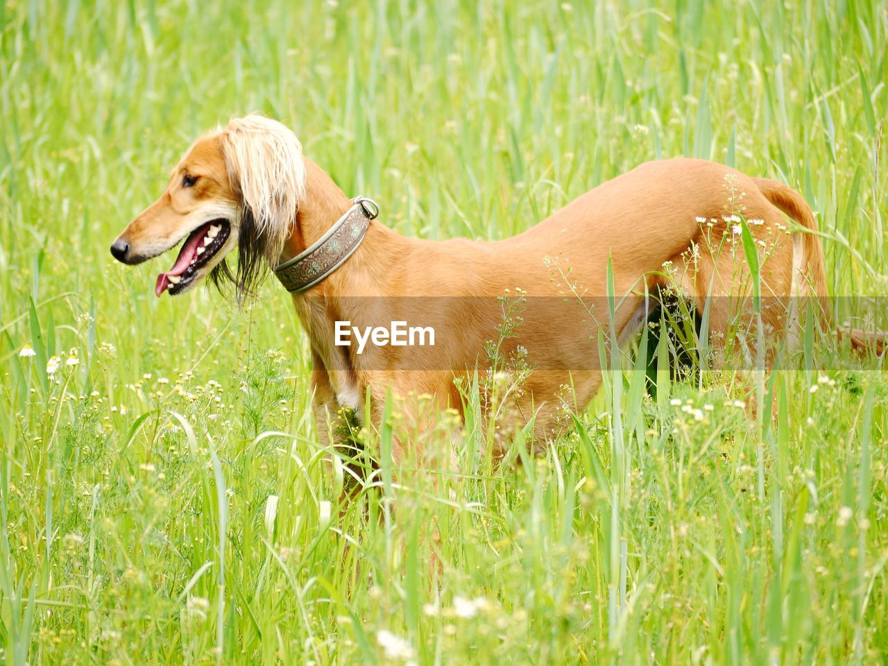 canine, dog, one animal, plant, grass, animal themes, domestic, animal, pets, domestic animals, mammal, green color, field, nature, pet collar, day, land, vertebrate, collar, growth, no people, outdoors, mouth open