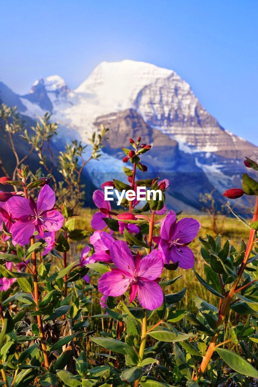 flowering plant, flower, plant, beauty in nature, freshness, growth, vulnerability, fragility, mountain, nature, close-up, petal, no people, pink color, sky, day, inflorescence, focus on foreground, flower head, land, purple