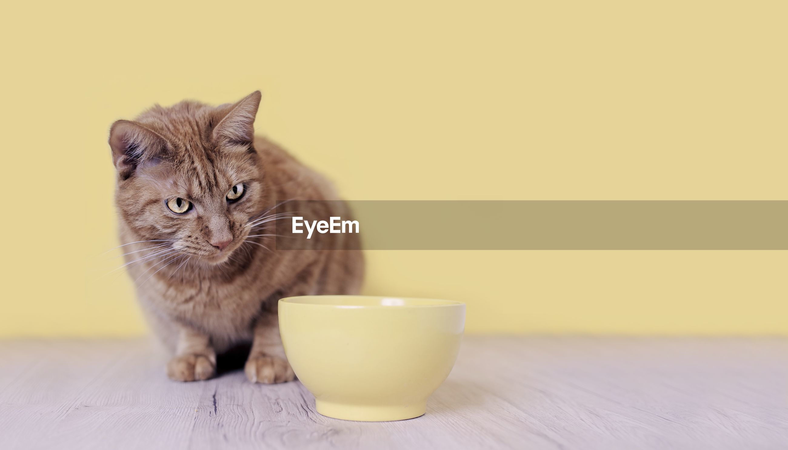 Cute ginger cat looking currious to a yellow food bowl. panoramic image with copy space.