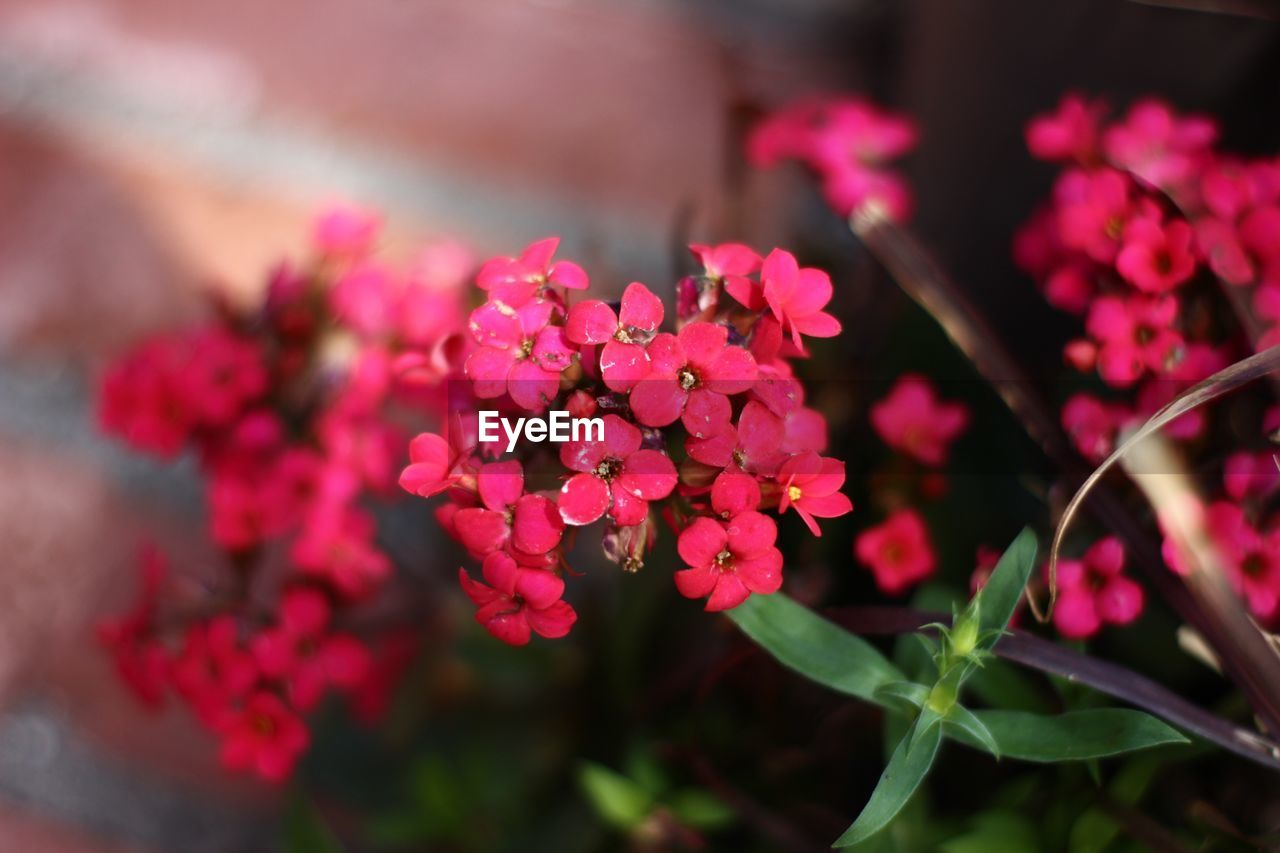 flowering plant, flower, beauty in nature, plant, fragility, vulnerability, growth, pink color, freshness, petal, close-up, flower head, selective focus, inflorescence, nature, day, no people, botany, outdoors, focus on foreground, bunch of flowers