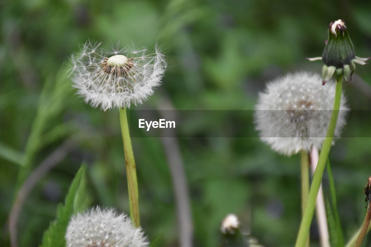 flower, plant, flowering plant, freshness, growth, dandelion, fragility, vulnerability, beauty in nature, close-up, focus on foreground, inflorescence, flower head, nature, white color, plant stem, softness, no people, dandelion seed, day, outdoors