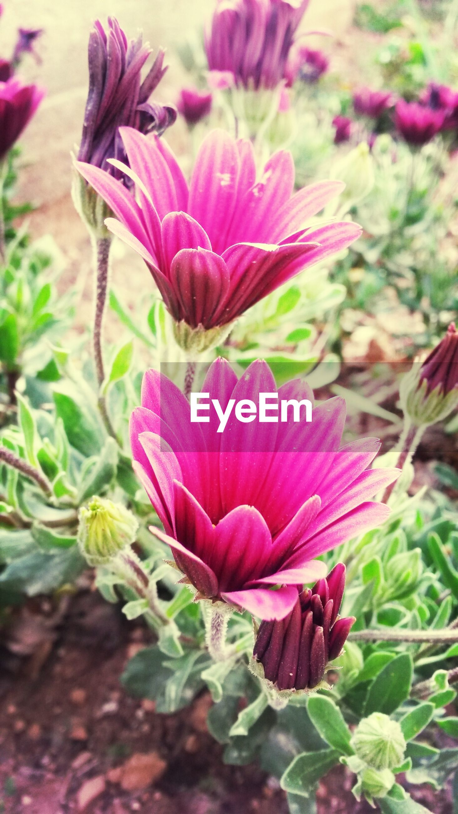 flower, freshness, petal, fragility, growth, flower head, beauty in nature, pink color, plant, close-up, nature, blooming, focus on foreground, stem, leaf, in bloom, blossom, bud, pink, field