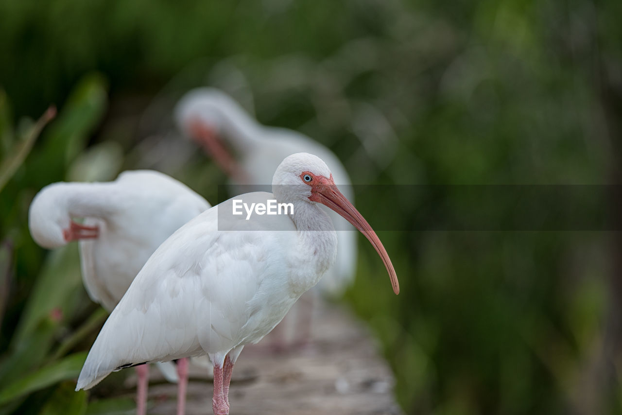 animal themes, animal, animal wildlife, bird, animals in the wild, vertebrate, one animal, focus on foreground, day, no people, beak, white color, nature, close-up, perching, ibis, outdoors, stork