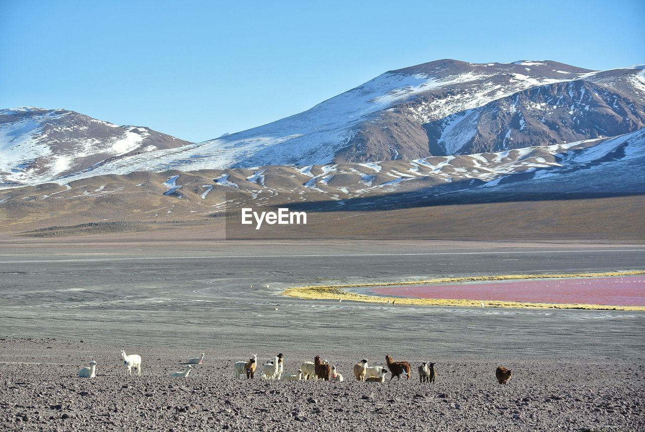 FLOCK OF SHEEP ON SNOWCAPPED MOUNTAIN AGAINST SKY