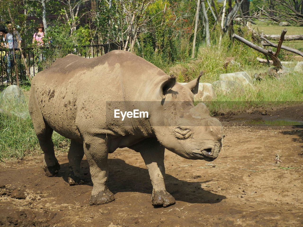 one animal, animal themes, animals in the wild, mammal, day, no people, animal wildlife, field, outdoors, nature, full length, rhinoceros, tree, close-up