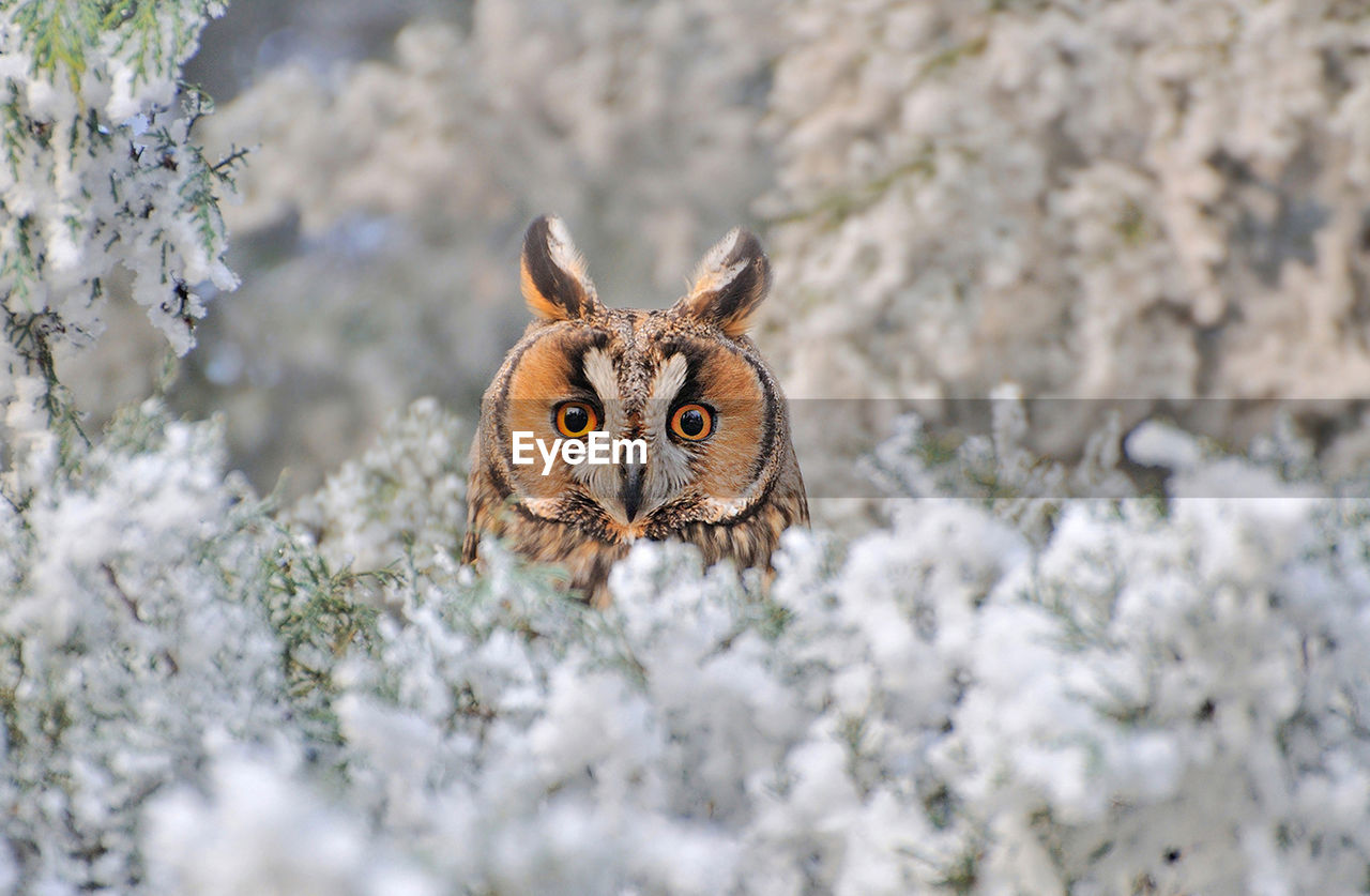 Close-up portrait of an owl during winter