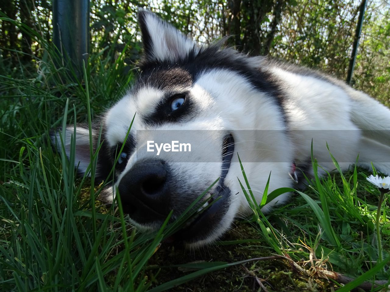 one animal, animal themes, grass, animal, plant, mammal, vertebrate, nature, day, pets, relaxation, field, domestic animals, no people, domestic, land, green color, close-up, sled dog, outdoors, animal head