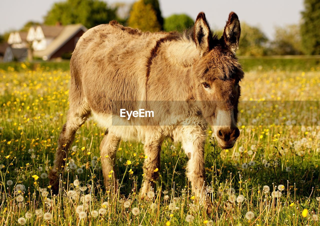 Close-up of donkey standing on field