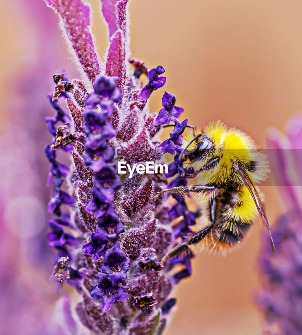 purple, flower, animal themes, animals in the wild, insect, one animal, fragility, nature, beauty in nature, close-up, day, outdoors, animal wildlife, bee, no people, yellow, freshness, flower head, pollination