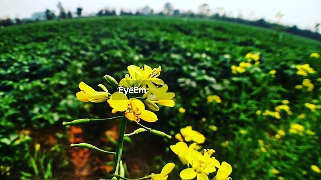 flower, flowering plant, plant, yellow, beauty in nature, freshness, growth, landscape, nature, focus on foreground, field, vulnerability, close-up, fragility, land, green color, blossom, flower head, vibrant color, no people, springtime, outdoors, ornamental garden