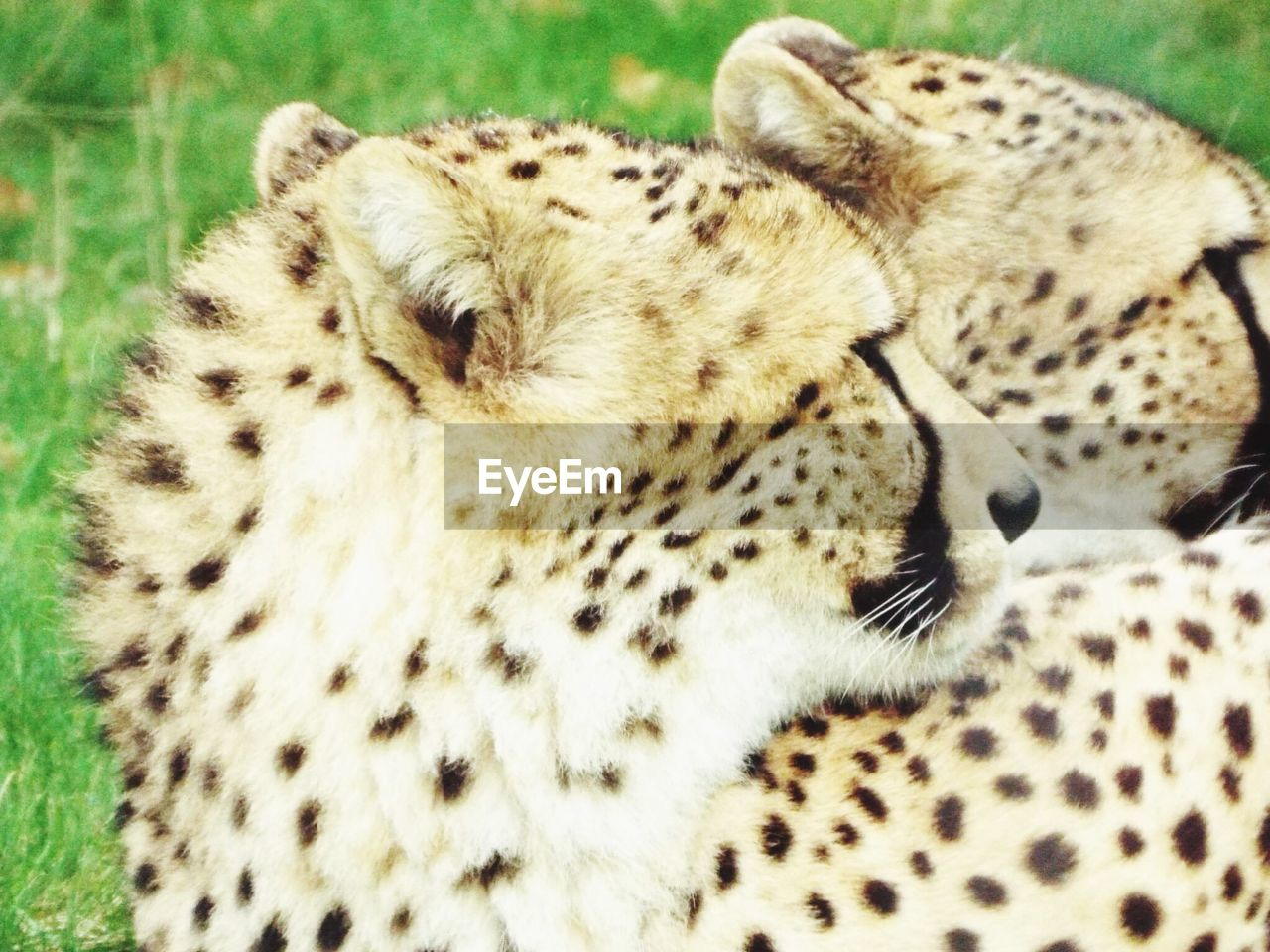 spotted, cheetah, animal themes, leopard, animal wildlife, animals in the wild, safari animals, one animal, animal markings, feline, no people, day, eyes closed, mammal, close-up, outdoors, nature