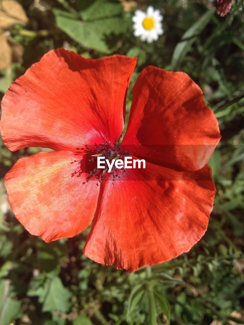 flower, petal, growth, nature, red, beauty in nature, fragility, flower head, plant, no people, blooming, outdoors, freshness, day, close-up, poppy, hibiscus