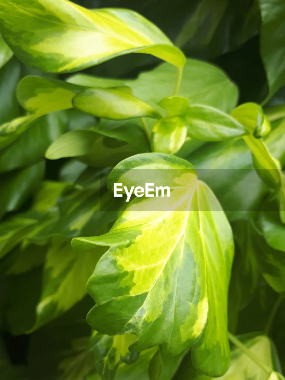 green color, plant part, leaf, growth, plant, freshness, food and drink, food, close-up, no people, healthy eating, beauty in nature, nature, day, vegetable, wellbeing, outdoors, fruit, selective focus, focus on foreground