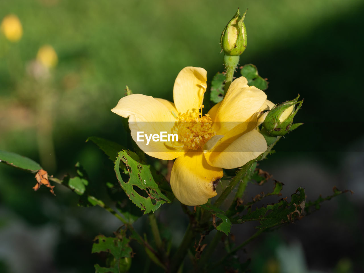 flower, flowering plant, plant, beauty in nature, fragility, growth, vulnerability, freshness, yellow, petal, inflorescence, flower head, close-up, nature, no people, pollen, focus on foreground, selective focus, day, bud, outdoors