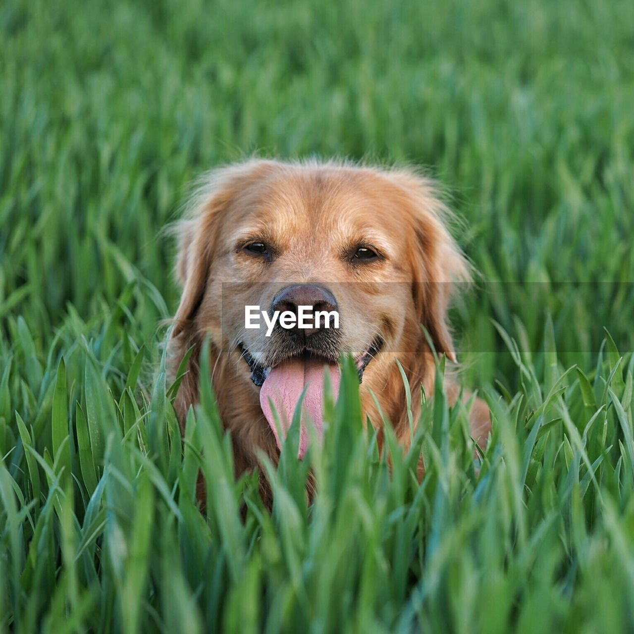 Close-Up Of Dog In Crop Field
