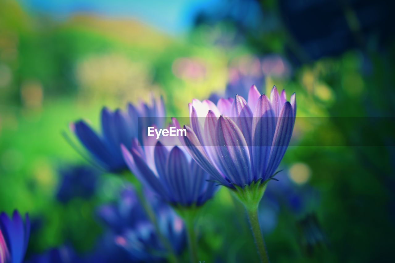 freshness, plant, vulnerability, beauty in nature, fragility, flowering plant, flower, petal, growth, close-up, purple, flower head, inflorescence, nature, selective focus, no people, day, focus on foreground, outdoors, field, pollen, crocus