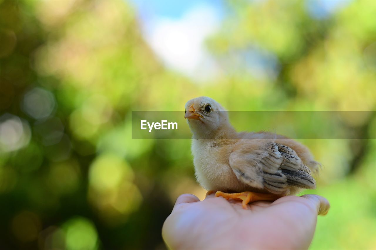 bird, animal themes, animal, vertebrate, one animal, animals in the wild, human hand, animal wildlife, hand, close-up, human body part, focus on foreground, day, young bird, one person, young animal, selective focus, perching, unrecognizable person, real people, finger