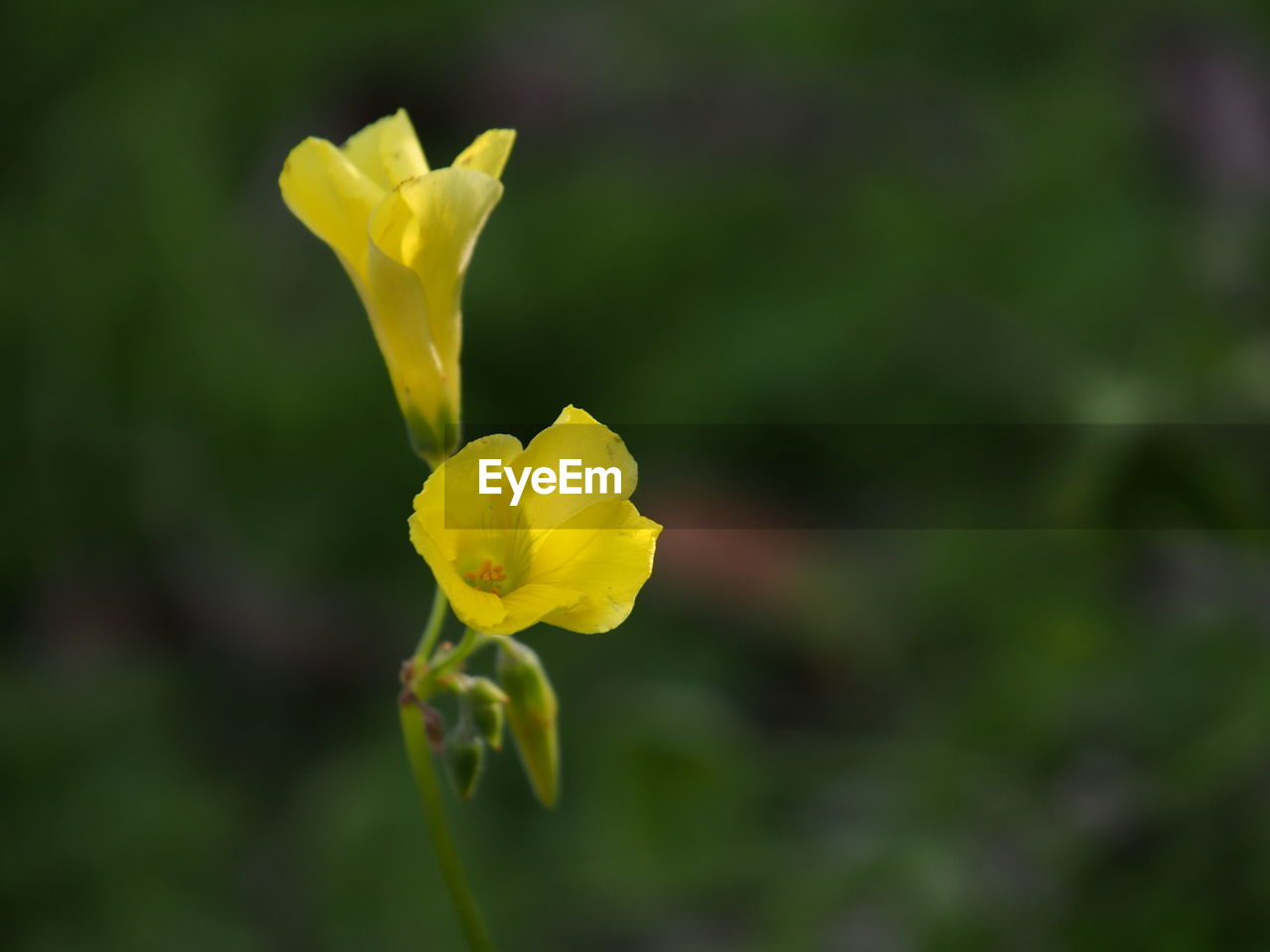 flower, yellow, petal, fragility, nature, beauty in nature, flower head, growth, freshness, plant, outdoors, blossom, day, blooming, no people, close-up, springtime
