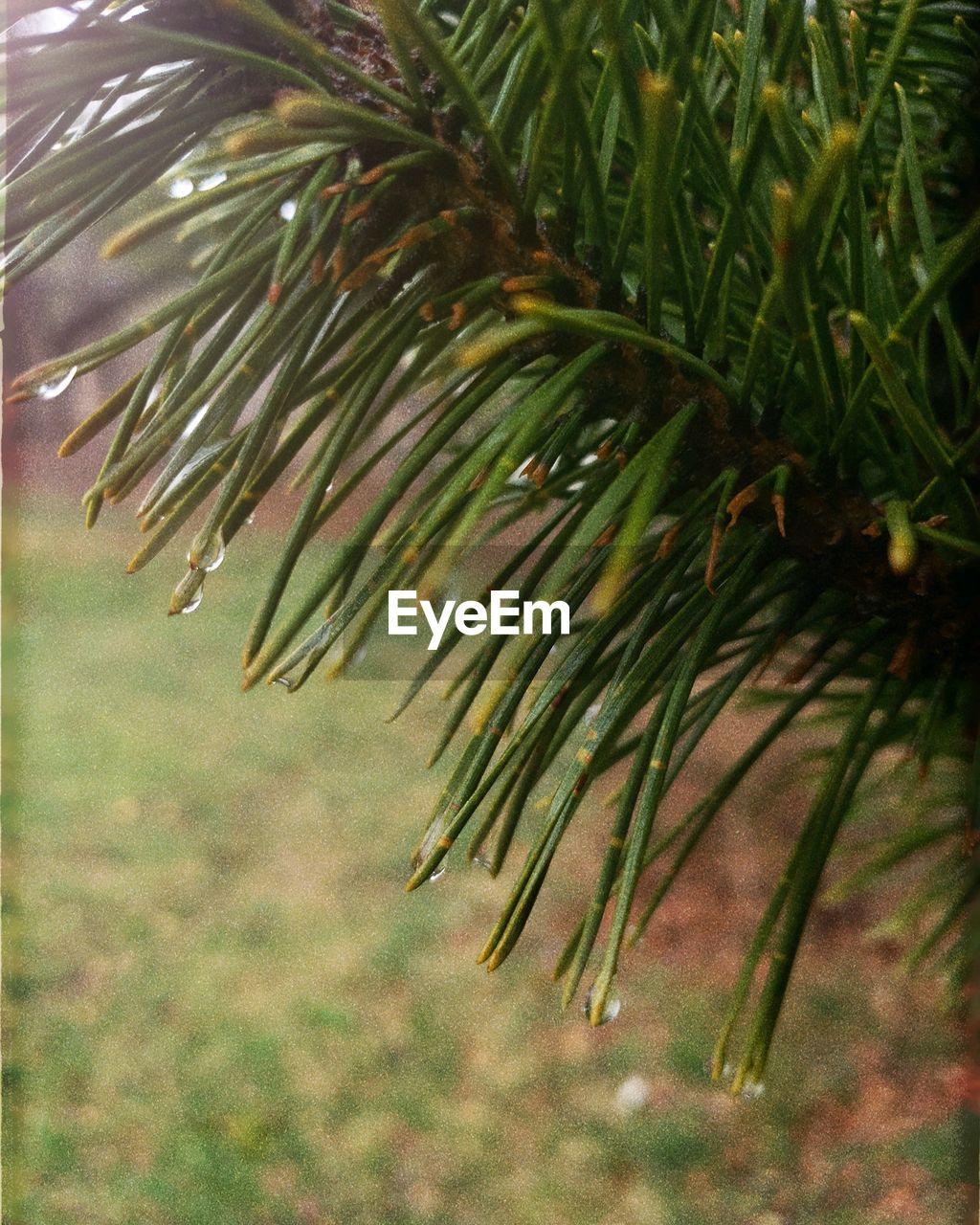 plant, growth, tree, green color, beauty in nature, close-up, leaf, nature, no people, plant part, day, outdoors, focus on foreground, pine tree, branch, needle - plant part, tranquility, selective focus, coniferous tree, sunlight, palm leaf, leaves, raindrop