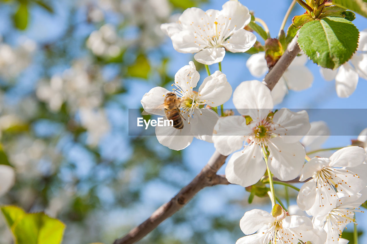 flowering plant, flower, plant, fragility, vulnerability, freshness, growth, beauty in nature, tree, petal, white color, close-up, branch, flower head, focus on foreground, low angle view, blossom, day, springtime, nature, pollen, no people, cherry blossom, outdoors, cherry tree, pollination