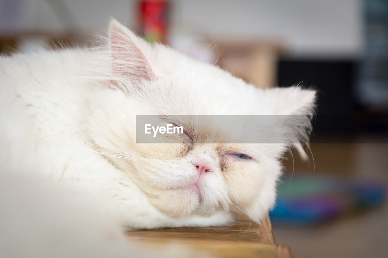 domestic cat, pets, domestic animals, feline, mammal, animal themes, one animal, indoors, whisker, eyes closed, focus on foreground, persian cat, close-up, home interior, no people, day