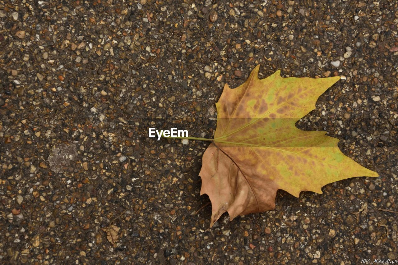autumn, leaf, change, dry, maple leaf, maple, nature, day, outdoors, high angle view, no people, close-up, beauty in nature, fragility