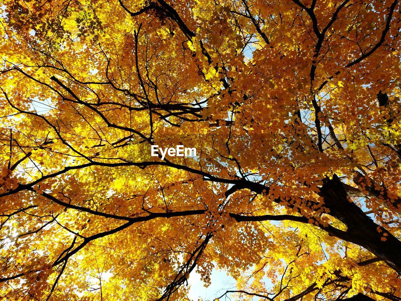 autumn, tree, change, plant, branch, growth, low angle view, beauty in nature, yellow, leaf, nature, plant part, no people, full frame, backgrounds, day, orange color, outdoors, tree trunk, trunk, maple leaf, tree canopy, autumn collection, fall, leaves, natural condition, directly below