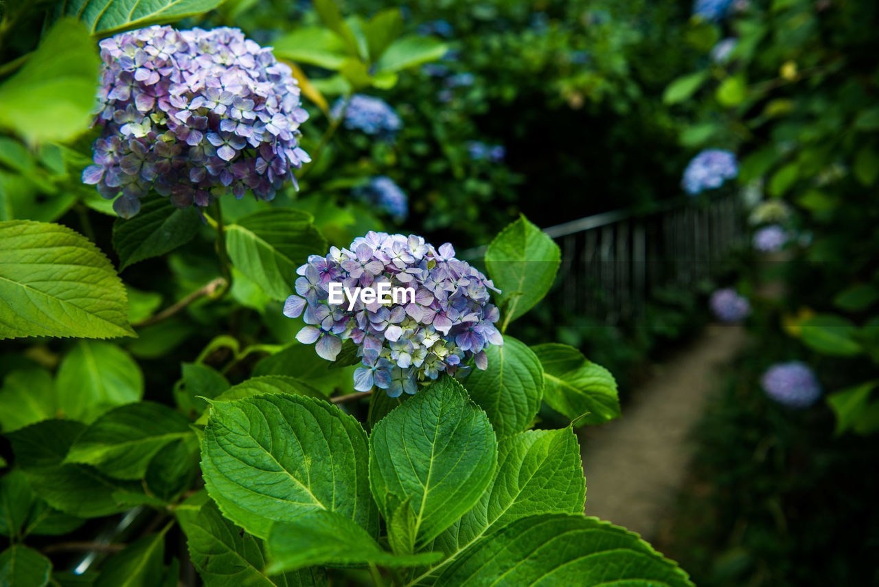 leaf, green color, flower, growth, freshness, beauty in nature, plant, nature, fragility, focus on foreground, petal, outdoors, hydrangea, day, purple, no people, close-up, flower head, blooming, lantana camara