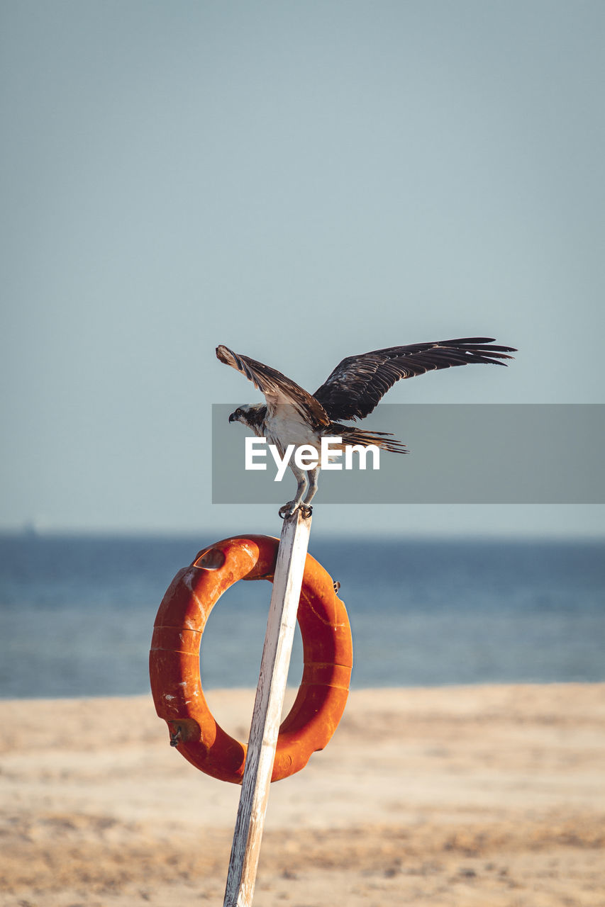 sea, sky, water, horizon, horizon over water, land, beach, nature, animal wildlife, animals in the wild, spread wings, animal, clear sky, animal themes, vertebrate, bird, scenics - nature, one animal, focus on foreground, no people, outdoors, seagull
