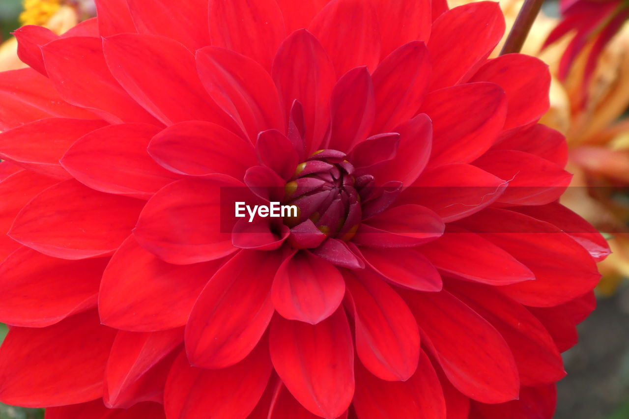 flower, petal, beauty in nature, nature, flower head, freshness, fragility, growth, close-up, blooming, no people, dahlia, plant, focus on foreground, outdoors, red, day, zinnia