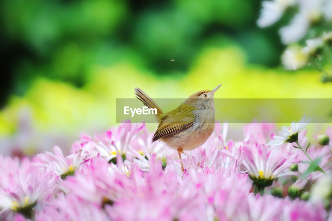one animal, flower, flowering plant, animal, animal themes, beauty in nature, plant, animal wildlife, animals in the wild, fragility, vulnerability, pink color, freshness, selective focus, petal, growth, bird, close-up, insect, vertebrate, flower head, no people, pollination, outdoors, butterfly - insect