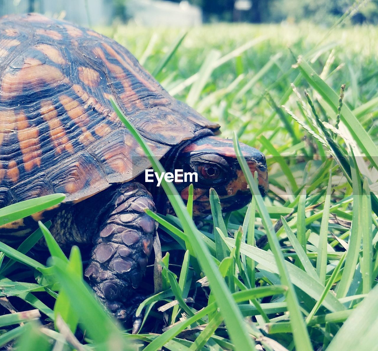 one animal, animal themes, animals in the wild, grass, wildlife, animal wildlife, nature, day, no people, reptile, outdoors, tortoise, plant, close-up, tortoise shell