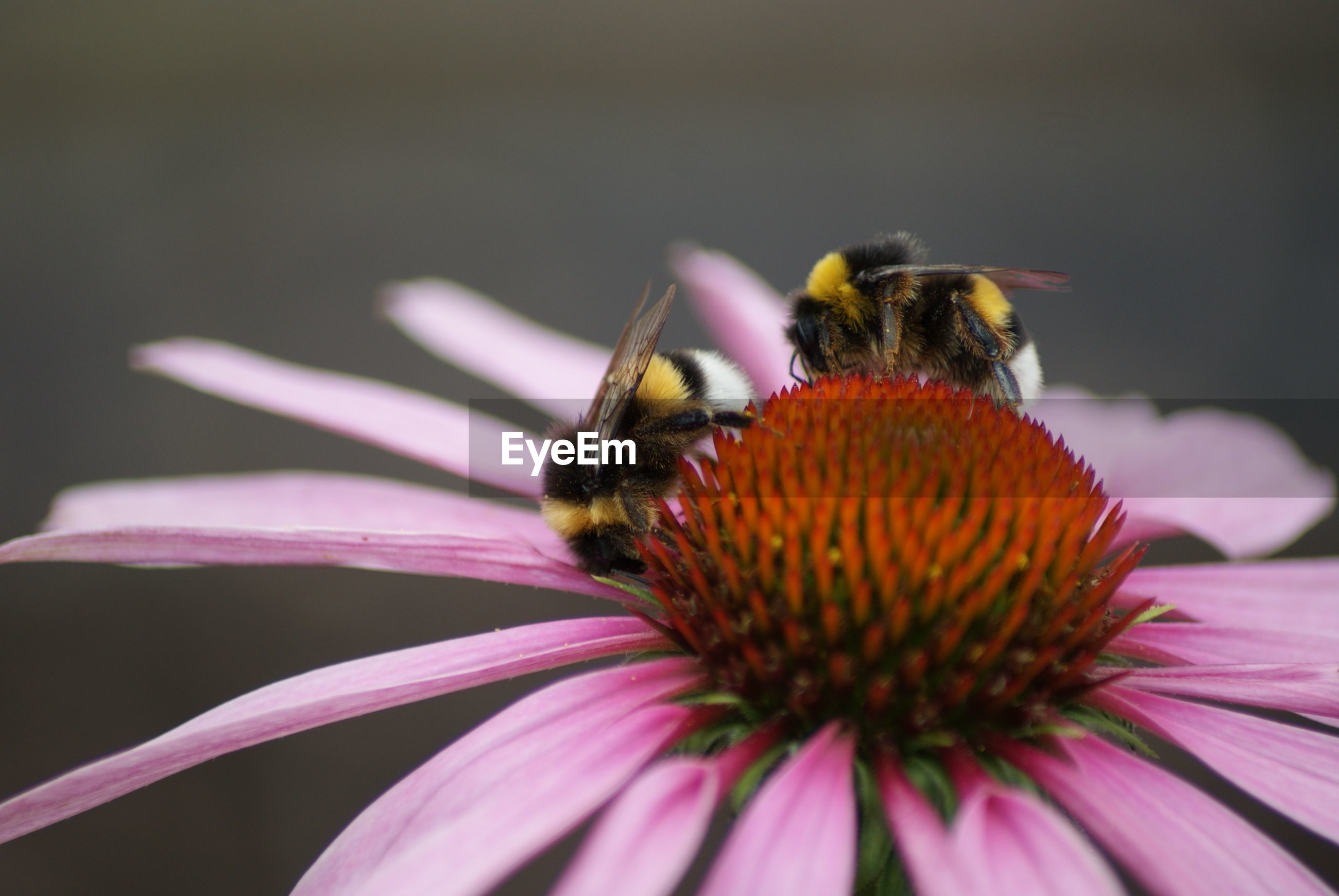 Close-up of bumblebees on eastern purple coneflower